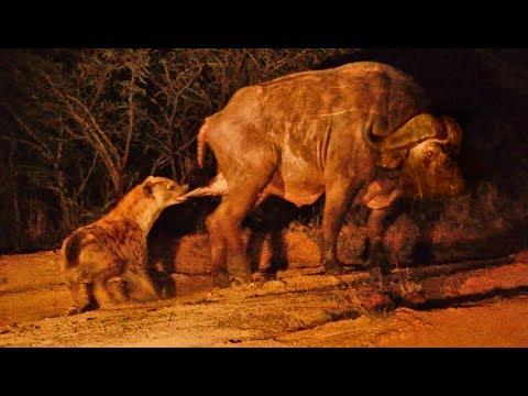 Hyena Grabs Buffalo by the Balls!
