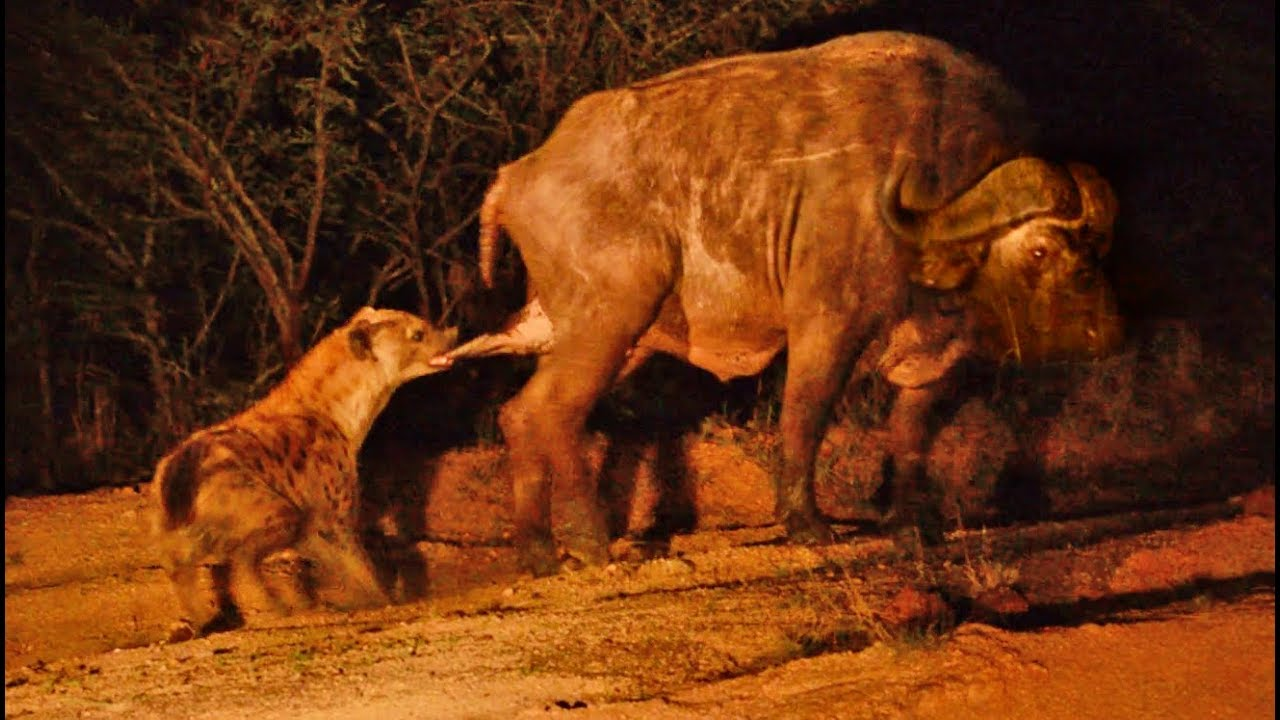 Hyena Grabs Buffalo by the Balls!
