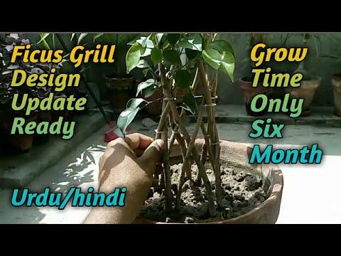 Ficus Panda Grill Design Ki Update A Gai Urdu Hindi Youtube