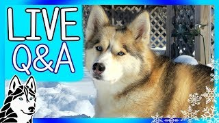 Previously LIVE with the HUSKIES Q&A | Story of Shiloh the Husky