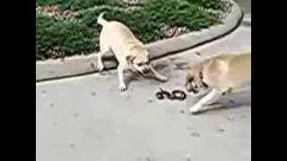 собаки против змеи
