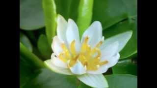 Sri Chinmoy. Heart Garden 2 (Tomare Pujite)