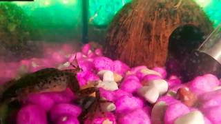 Мои африканские карликовые лягушки:-)