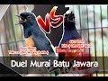 Suara Burung Duel Sengit Murai Batu Jawara Jogja Yakuza Agug Polda Vs Kira Sigit Gco Ogasaka  Mp3 - Mp4 Download