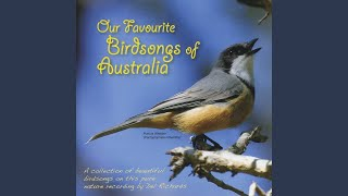 Pied Butcherbird, Yellow Honeyeater, Willy Wagtail, Little Bronze-Cuckoo