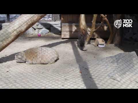 Манул играет. Часть №2 Новосибирский зоопарк имени Р.А.Шило