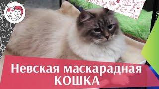 Невская маскарадная кошка на  Кэтсбург 17 ilikepet