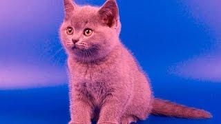 Классный британский котенок