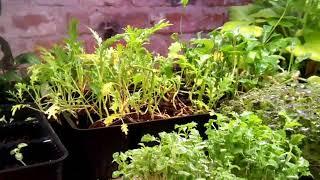 Японская капуста мизуна. Микрозелень доращиваем массу