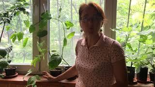 Пассифлора: сорта и условия выращивания