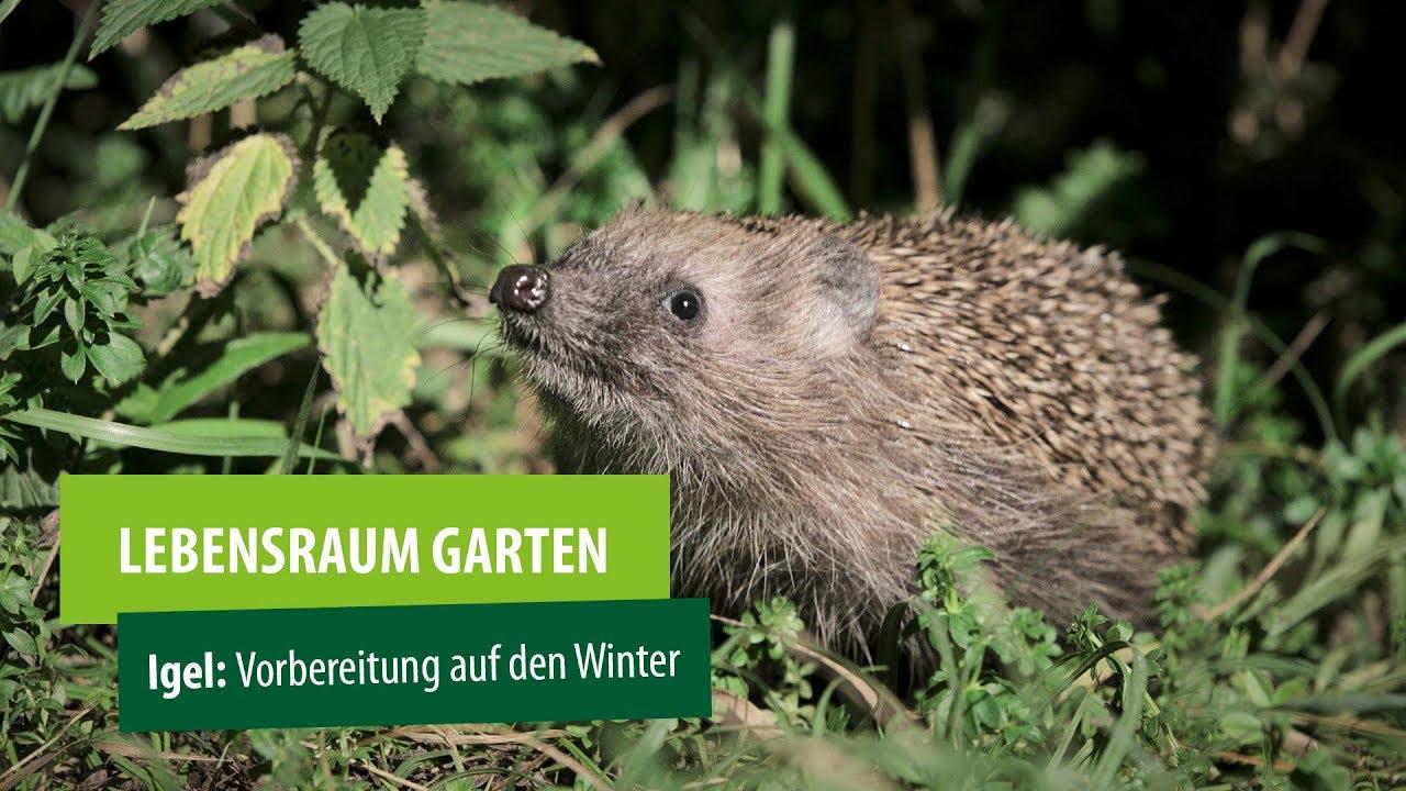 Lebensraum Garten Igel Vorbereitung Auf Den Winter