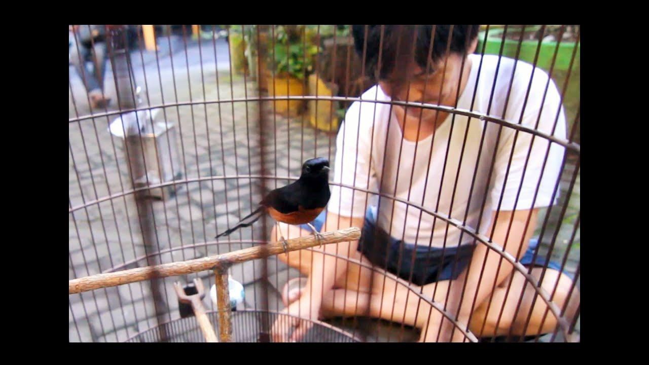 Murai Batu Gacor Pedrossa Juara Nasional Milik Om Aries Pranata Youtube