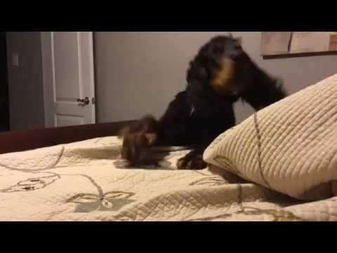 Gordon Setter Begging to Get on Bed