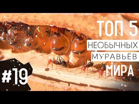 ТОП 5 необычных видов муравьёв мира   ТОП 5 удивительных муравьёв в мире - Видео онлайн