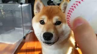 【柴犬くうた】てくてくボールを持ってくる(0年8ヶ月歳) thumbnail
