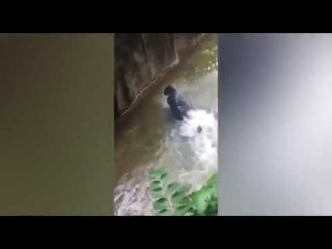 New  Footage of Harambe The 3 Year old boy who fell into the Zoo at Gorilla Pit