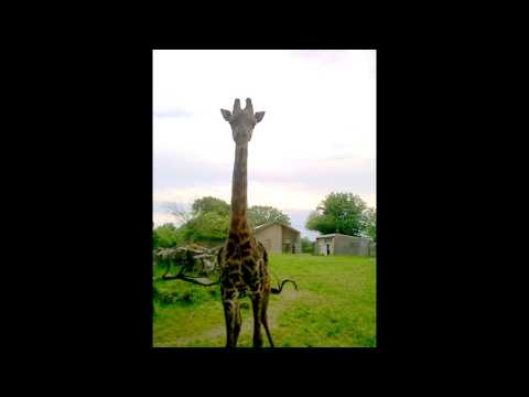 Thumbnail: How to call Oliver the Giraffe...