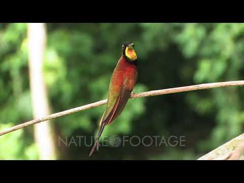 Crimson Topaz Hummingbird Video Decor Edited
