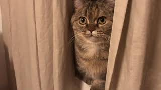Funny cat so cute 丨 Munchkin Cat Like to hide the cat丨TOP cat