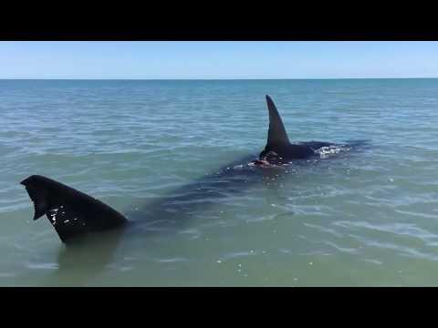 Attaque Par Un Requin  Affamé