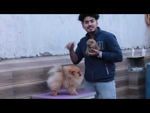 Golden Toy Pom Introduction With Pomeranian Puppies New Dog Bazaar Information Toy Pom Delhi, India