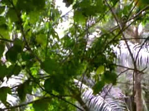 Oriental Pied Hornbill At Chalet Area