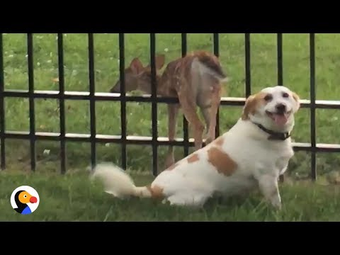 Good Dog Waits With Stuck Baby Deer Until He's Free | The Dodo