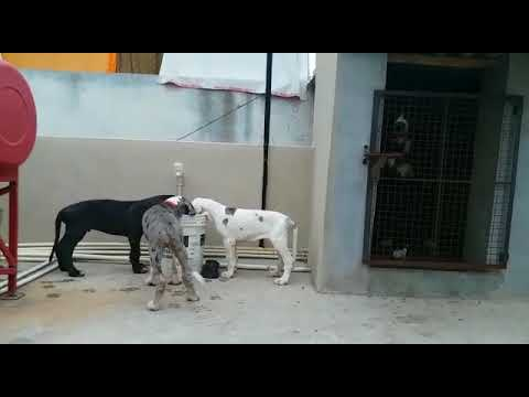 Great Dane puppies..