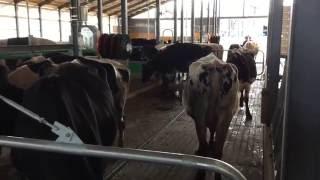 新しい牛舎へ引越ししました.