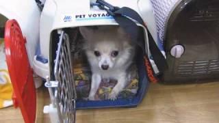 お昼寝中のワンコたち Chihuahua, Poodle, Dachshund,mix