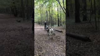 Ездовые собаки (тренировка)