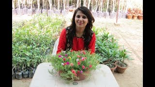 How to Grow Portulaca/Moss Rose from Cuttings - By Priyanka