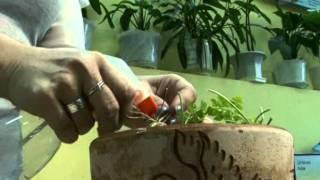 Дачная инспекция. Как спасти рассаду?(Перед массовым выращиванием рассады необходимо избавиться дома от паразитов растений. Кроме настоев, есть..., 2012-01-13T02:16:21.000Z)