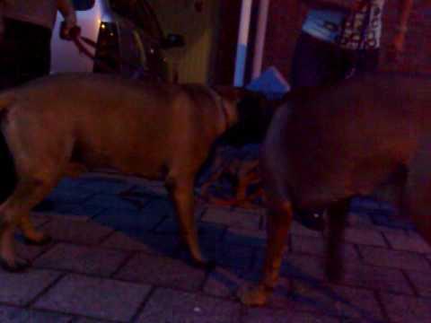 Boerboel Loki meets bento and juul