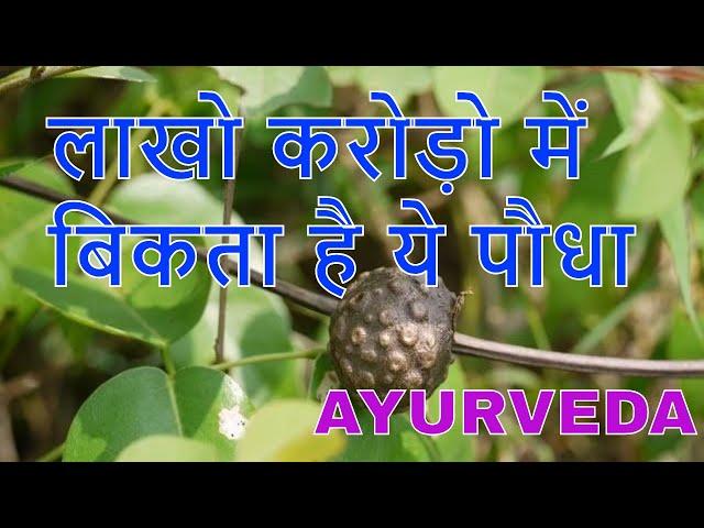 varahikand benefits in ayurveda/??????????