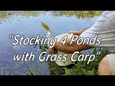 Stocking 4 Ponds With Grass Carp!