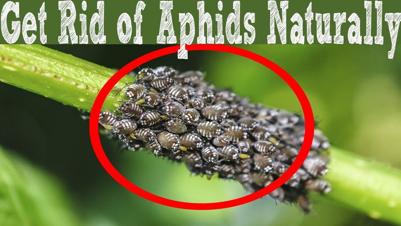 How to get rid of aphids 87