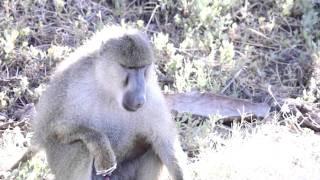 monkey ejaculated