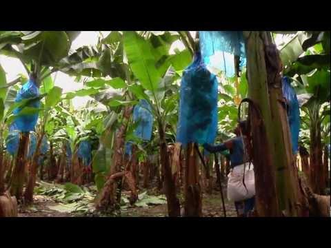 DOLE - Harvesting Bananas