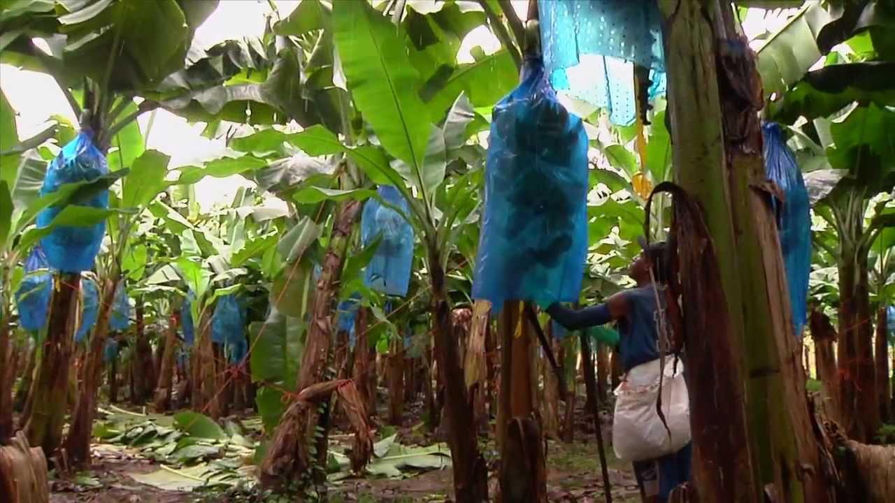 Dole Harvesting Bananas Youtube