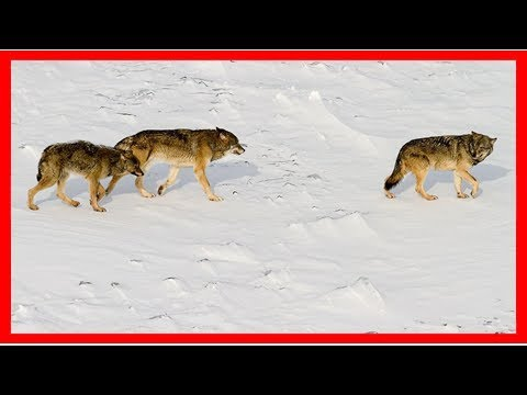 Inbred wolf population on isle royale collapses