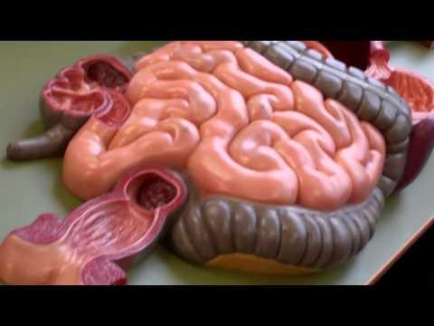 Anatomy and Physiology 2 anatomy model walk through for
