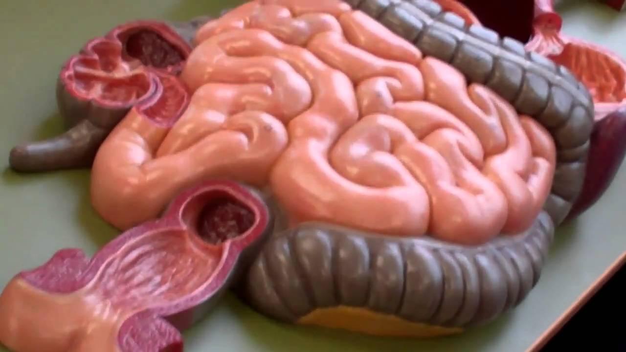Anatomy and Physiology 2 anatomy model walk through for ...