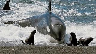 シャチ狩りアザラシやアシカ