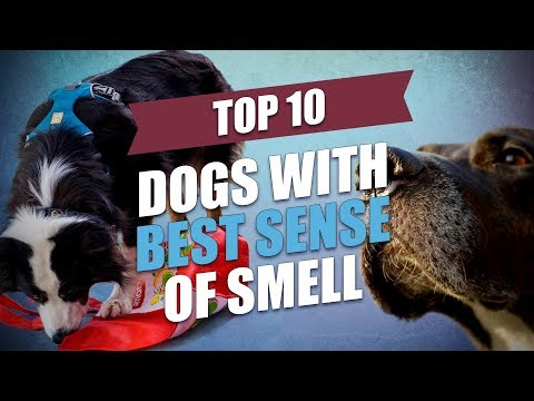 Top 10 Dogs with the Best Sense of Smell