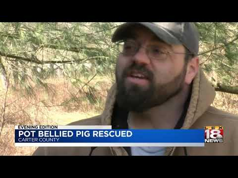 Pot Bellied Pig Rescued