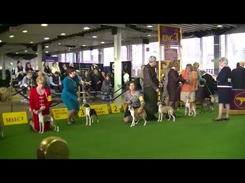 Italian Greyhounds Westminster dog show 2018 a