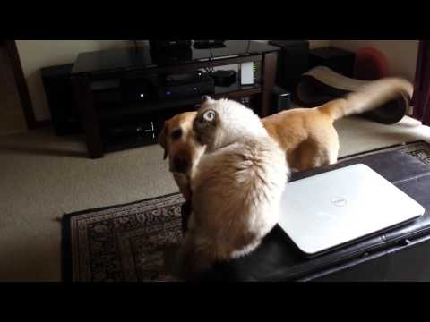 Dog Pesters Cat For Rubs