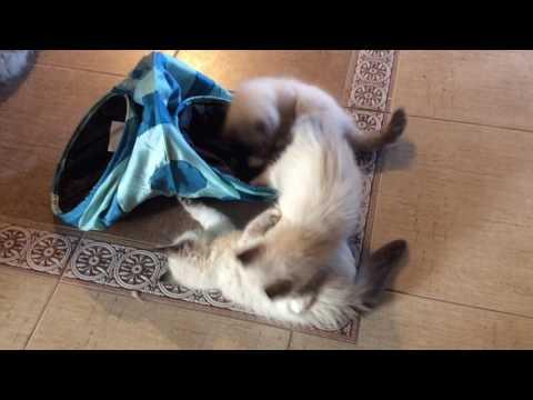 Котята Инфинити и Ланселота Жемчуг Невы
