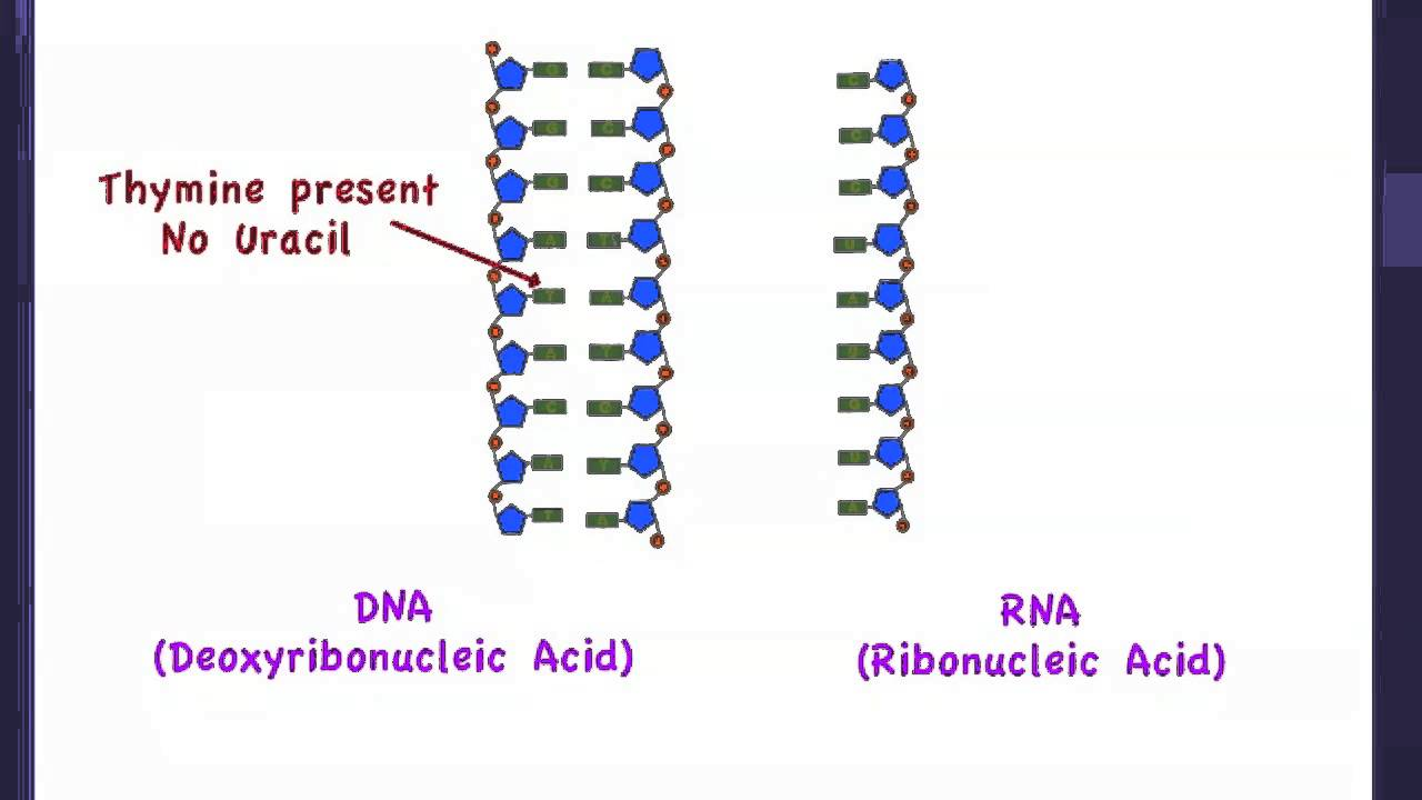 2 6 differences between dna and rna